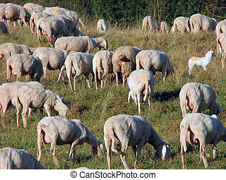 many sheep in the flock of sheep on a mountain meadow