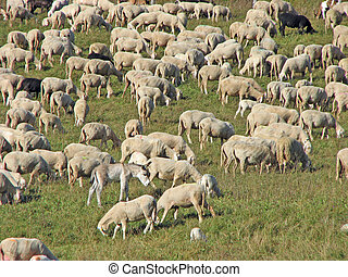 sheep in the flock of sheep on a mountain meadow