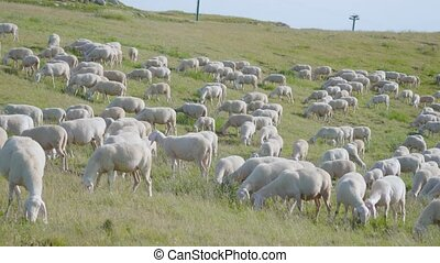 Many farm sheep eat grass in the summer on the mountain
