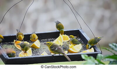 Silver-throated Tanagers at a feeder - Many Silver-throated...