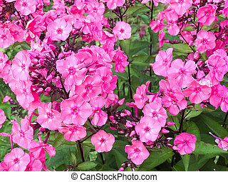 Many small purple flowers of phlox with large bright juicy fresh petals tender against a background of green grass and leaves