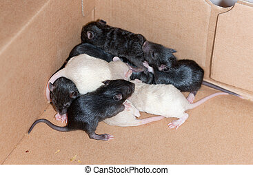 Many small rats in a box from a cardboard
