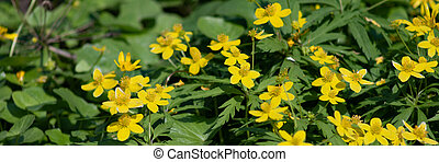 many small yellow flowers in the forest, spring forest flowers on the background of green leaves