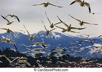 Many Snow Geese Close Up Flying From Mountain