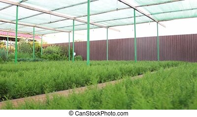 Many species of arborvitae and other ornamental plants grown...