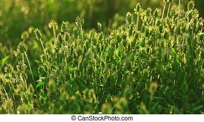Many spikelets of wild grass backlit pan shot slow motion -...