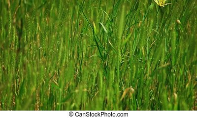 Many spikelets of wild grass fluttering on wind - Many...