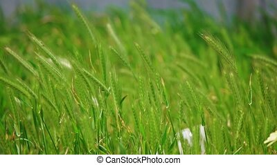 Many spikelets of wild grass sways on wind slomo - Many...