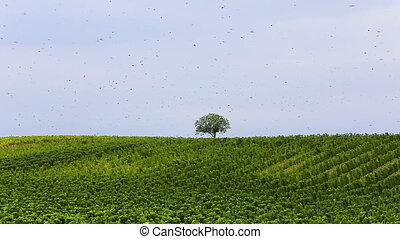 Many starling birds flying over the grape plants in autumn