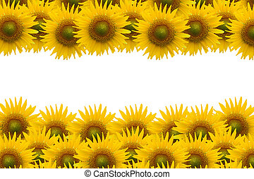 sunflower on white space - Many sunflower on white space ...