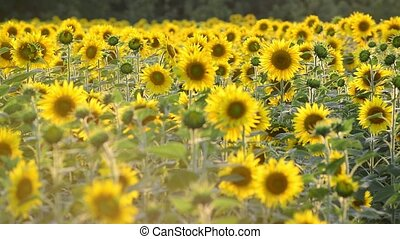 Many sunflowers in the field at sunset