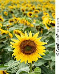 many sunflowers on a field - many yellow sunflowers on a ...