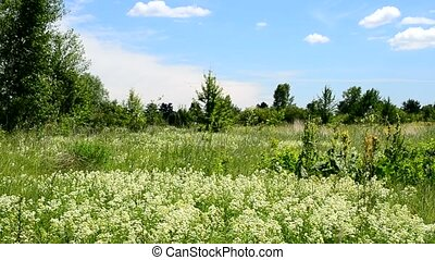 Many swift birds fly in summer over a green meadow with flowers