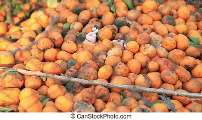 Many tangerine fallen on the ground and rotting - A huge...