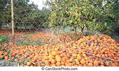 Many tangerine fallen on the ground and rotting - A lots of...