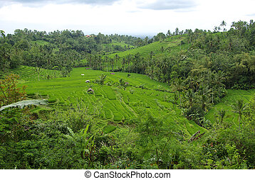 Many terrace ricefields in Bali