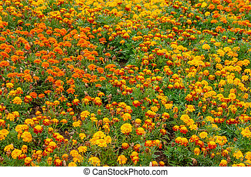 Many thagetes flowers in a garden