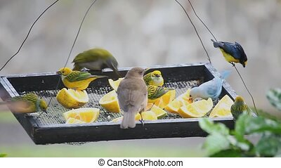 Tropical birds at a feeder in Panam