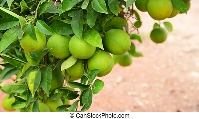 Many unripe green orange on tree - unripe green orange on a...