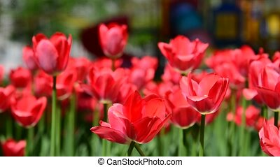 Many varietal pink tulips on  flowerbed