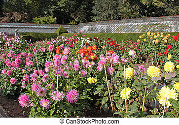 Many varieties of dahlia growing in an English country garden.
