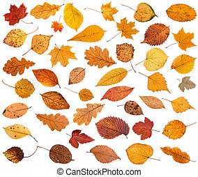 many various dried autumn fallen leaves isolated on white...