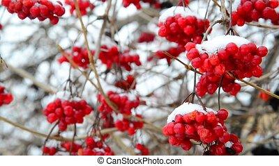 Many viburnum berries in snow