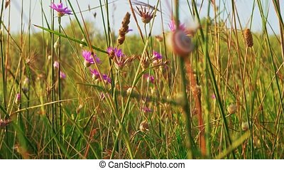 Many violet wildflowers shivering on wind closeup
