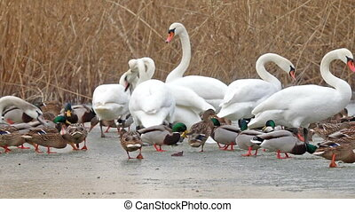 Many waterbirds  on the lake in winter