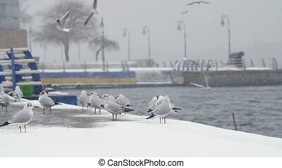 Many white birds landing and seeking food on river...