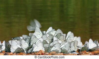 many white butterflies  - aporia crataegi