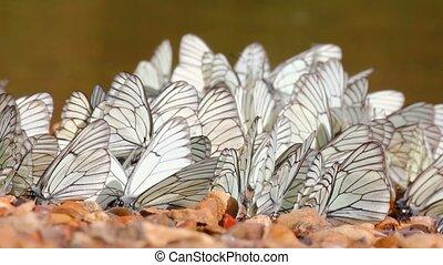 many white butterflies on river beach - aporia crataegi