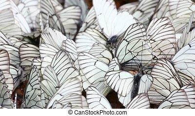 many white butterflies on sand - aporia crataegi