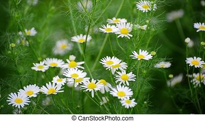Many white daisies gently swaying in wind