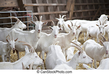 many white goat standing in the barn and see