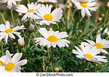 many white marguerite flowers in the park