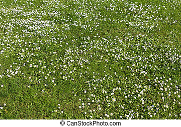 Many white small flowers in top view of meadow