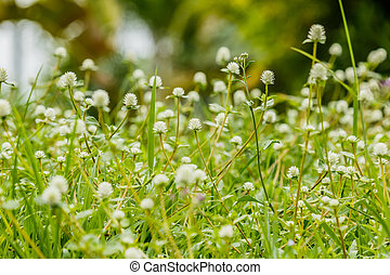 Many white small flowers of meadow