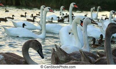 Many white swans  on the lake