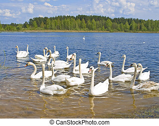 swans - Many white swans swimming at the blue lake in wild ...