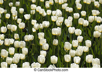 Many white tulips on a green background.