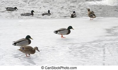 Many wild ducks walk on ice and jump into water