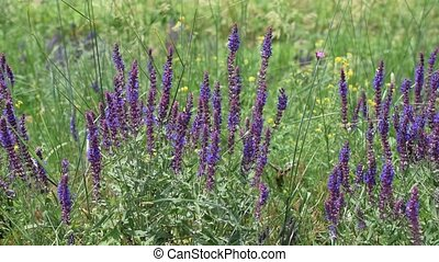 Many wild purple sage flowers in a meadow with bees collecting nectar or pollen