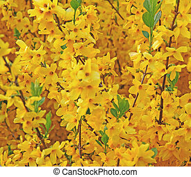 yellow flowers of Forsythia blooming in spring 1