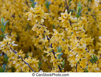 yellow flowers of Forsythia blooming in spring 2