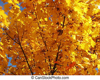 many yellow leaves in autumn