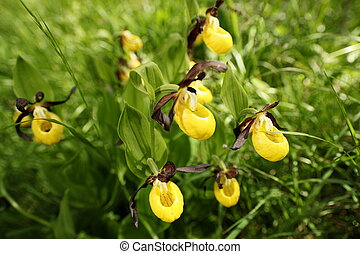 many yellow orchids in nature landscape