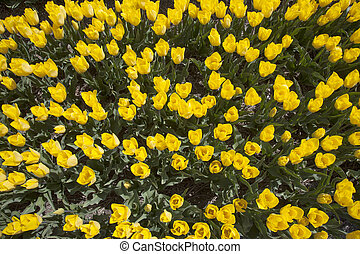 yellow tulips in dutch flower field seen from above