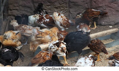 domestic chickens in village eating seeds - many young...