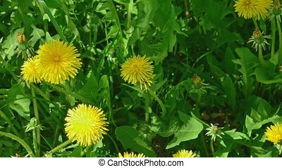 Many young yellow dandellion flowers in fresh grass above view macro footage